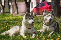 Hund des sibirischen Schlittenhunds Lizenzfreie Stockfotos