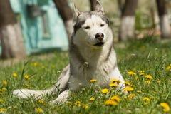 Hund des sibirischen Schlittenhunds Lizenzfreie Stockfotografie