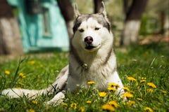 Hund des sibirischen Schlittenhunds Stockbilder