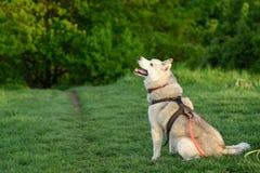 Hund des sibirischen Schlittenhunds stockfoto