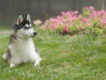 Hund des sibirischen Schlittenhunds Stockfotografie