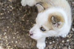 Hund des sibirischen Schlittenhunds draußen Stockbilder