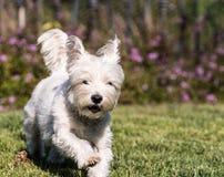 Hund des weißen Terriers des Westhochlands Stockfoto