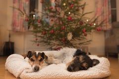 Hund des Weihnachten zwei - Jack Russell Terrier lizenzfreies stockbild