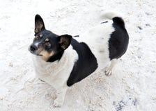 Hund djur, husdjur, valp, vit, hundkapplöpning, svart, gulligt som är hund-, terrier som isoleras, husdjur, chihuahua, däggdjur,  arkivfoto
