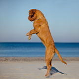 Hund Dogue de bordeaux in einem Sprung Stockbilder