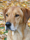 Hund draußen im Fall Lizenzfreies Stockbild