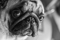 Hund, ein Pug, ein Schwarzweiss, ein stilvolles Porträt eines Pug E Lizenzfreies Stockbild