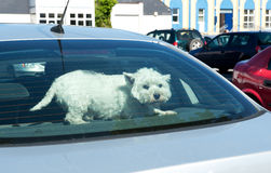Hund in einem Auto-hinteren Fenster Stockbilder