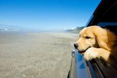 Hund in einem Autofenster Stockbild