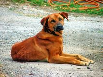 Hund in einem Bauernhof Stockfotografie