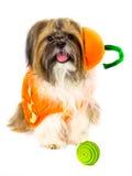 Hund in einem Kürbis-Kostüm Stockbild