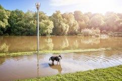 Hund in einem Park auf einem überschwemmten Weg nach dem Sonnenaufgang Stockbilder