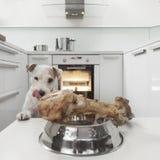 Hund in einer Küche Stockfotografie
