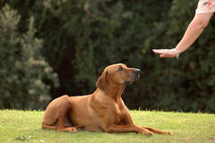 Hund ergeben Lizenzfreie Stockfotografie