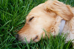 Hund ermüdet stockfoto