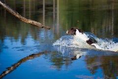 Hund fängt eine Niederlassung im Wasser Stockfotografie