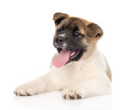 Hund för Akita inuvalp som ser kameran bakgrund isolerad white Royaltyfri Bild