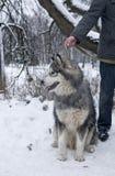 Hund för alaskabo Malamute i vinter Royaltyfri Fotografi