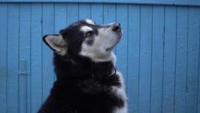 Hund för alaskabo Malamute mot en blå trähusväggbakgrund Arkivbilder