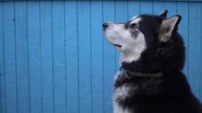 Hund för alaskabo Malamute mot en blå trähusväggbakgrund i vinter Royaltyfri Foto