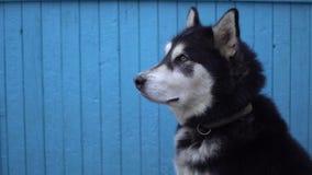 Hund för alaskabo Malamute mot en blå trähusväggbakgrund i vinter Arkivbild