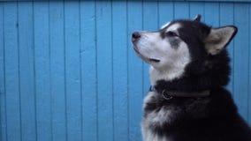Hund för alaskabo Malamute mot en blå trähusväggbakgrund i vinter Arkivfoto