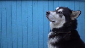 Hund för alaskabo Malamute mot en blå trähusväggbakgrund i vinter Royaltyfria Bilder
