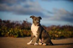 Hund för amerikanPit Bull Terrier valp Fotografering för Bildbyråer