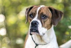 Hund för avel för amerikansk bulldogg för boxare blandad Arkivfoton
