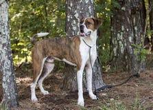 Hund för avel för amerikansk bulldogg för boxare blandad Royaltyfri Bild