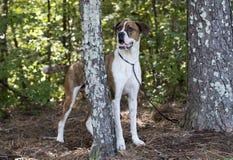 Hund för avel för amerikansk bulldogg för boxare blandad Royaltyfri Fotografi