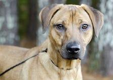 Hund för avel för svart munbyrackaVizsla hund blandad Royaltyfri Bild