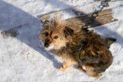 Hund för avelvakt lite på en kedja Royaltyfria Bilder