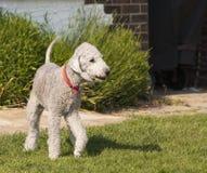 Hund för Bedlington Terrier Royaltyfri Fotografi