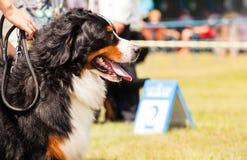 Hund för Bernese berg - Berner Sennenhund under utställning Arkivfoton