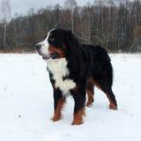 Hund för Bernese berg på en gå i parkera Arkivbild
