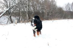 Hund för Bernese berg på en gå i parkera Fotografering för Bildbyråer