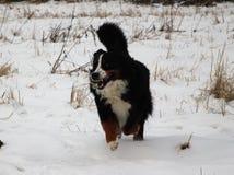 Hund för Bernese berg på en gå i parkera Arkivbilder