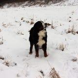 Hund för Bernese berg på en gå i parkera Royaltyfria Foton