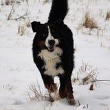 Hund för Bernese berg på en gå i parkera Royaltyfria Bilder