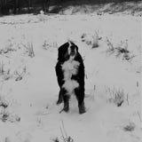 Hund för Bernese berg på en gå i parkera Royaltyfri Bild
