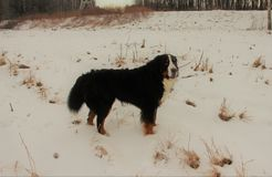 Hund för Bernese berg på en gå i parkera Arkivfoton