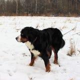 Hund för Bernese berg på en gå i parkera Arkivfoto