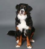 Hund för Bernese berg på grå färger royaltyfri fotografi