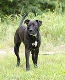 Hund för boxarePitbull blandad avel med underbett Royaltyfria Foton