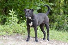Hund för boxarePitbull blandad avel med underbett Royaltyfria Bilder