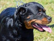 hund för clipping 3d över white för skugga för banaframföranderottweiler Royaltyfria Foton