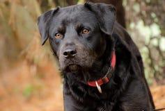 hund för clipping 3d över white för skugga för banaframföranderottweiler Arkivfoto