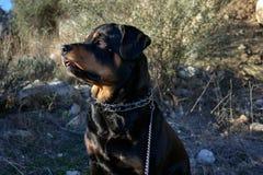 Hund för en gå bland det högväxta gräset Arkivbilder